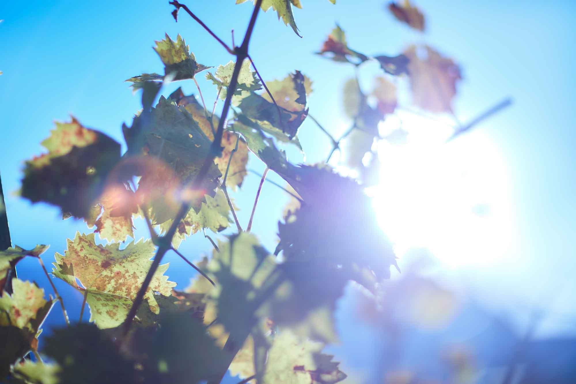 Blätter in Frühling Weinlandschaft in St. German Wallis